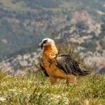 TRENCALÒS-Gypaetus barbatus-Quebrantahuesos