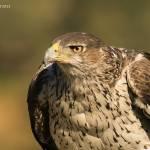 Aquila fasciata-Àguila cuabarrada (04.10.2012)