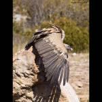 Gyps fulvus-Voltor comú (octubre 2011)