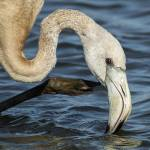 Phoenicopterus roseus-Flamenc (digiscoping oct. 2014)