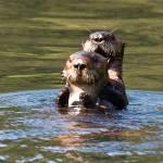 Enhydra lutris-Sea Otter