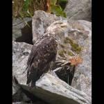 Haliaetus leucocephalus-Bald Eagle