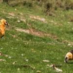 Gypaetus barbatus-Trencalòs (abril 2014)