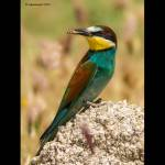 Merops apiaster-Abellerol (Digiscoping maig 2012)