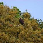 Aquila adalberti-Àguila imperial