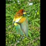 Merops apiaster-Abellarol (Digiscoping)