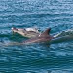 Cephalorhynchus heavisidii-Dofí de Heasvisidii