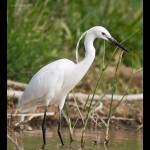 Egretta garzetta-Martinet blanc (Digiscoping)